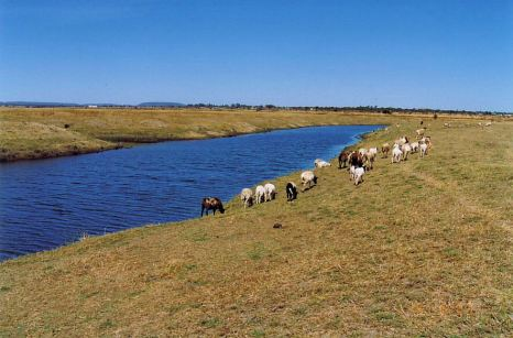 1t cattle grazing at the river Aug 1993