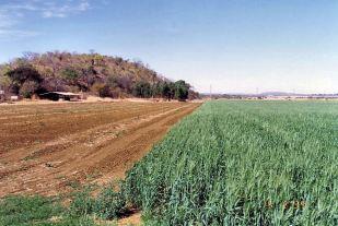 1y wheat Aug 1993