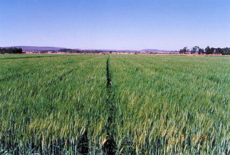 2b wheat Aug 1993