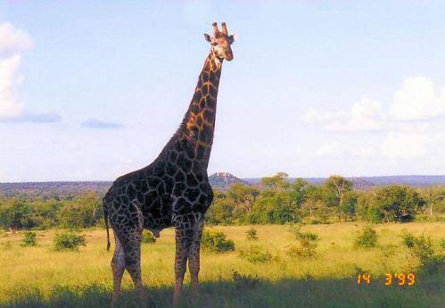 3b giraffe