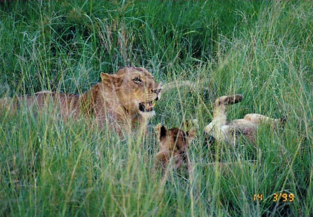 3e lioness and cubs