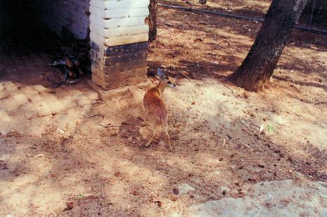 3f Bushbuck - Little England Aug 93