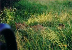 3f lioness and cubs