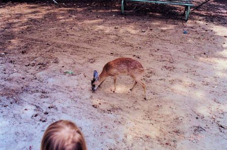 3fa Bushbuck - Little England Aug 93