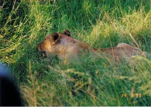 3g lioness