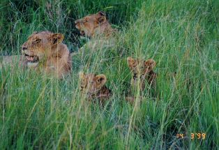 3h lionesses and cubs