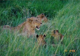 3i lioness and cubs