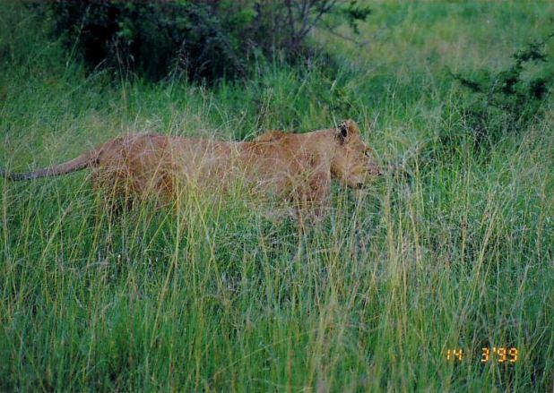 3i lioness