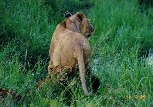 3j lioness and cubs crossing stream