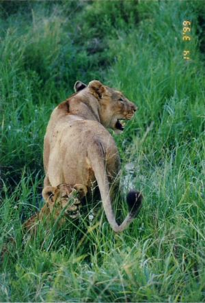 3k lioness and cub