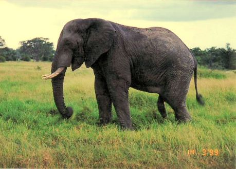 4e elephant in musth
