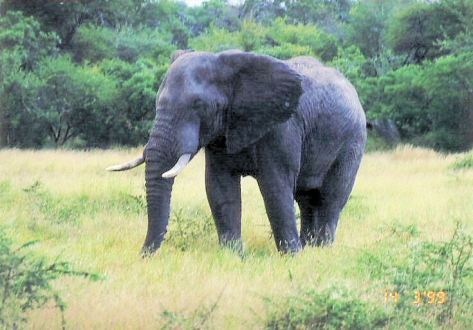 4f elephant in musth