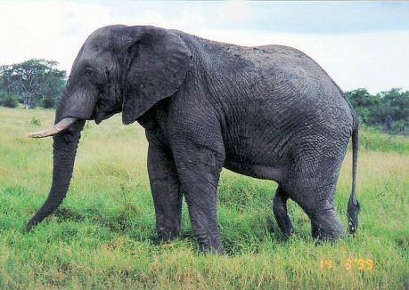 4g elephant in musth