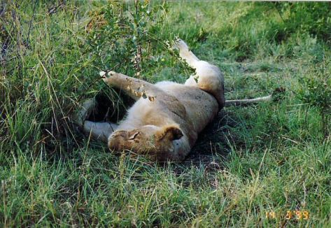 4h lioness in the grass
