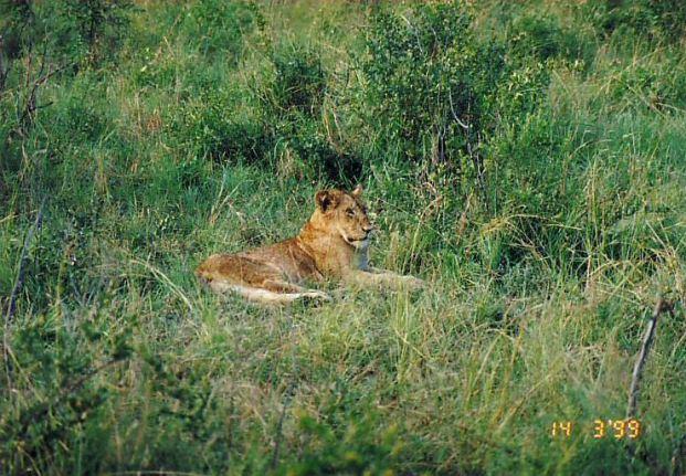 4i classic lion pose