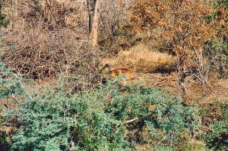 4l bushbuck