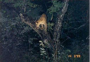 5b treed leopard at night
