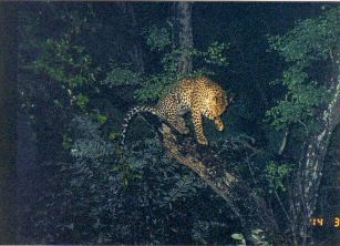 5c treed leopard at night