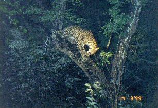 5d treed leopard at night