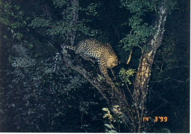5e treed leopard at night