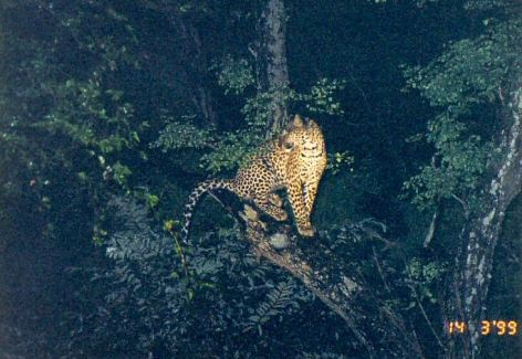5f treed leopard at night