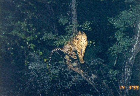 5f treed leopard at night