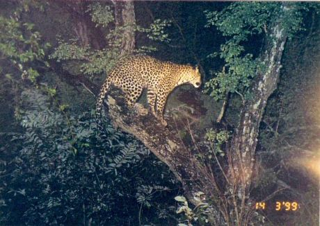 5g treed leopard at night