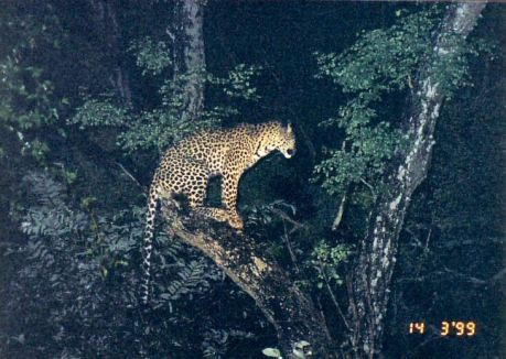 5h treed leopard at night