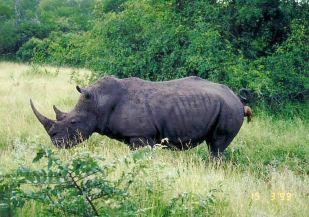 6c rhino crapping