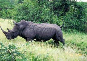 6f dad rhino