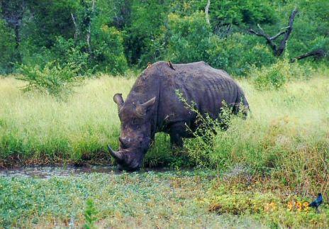 6k rhino