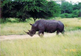 6m rhino