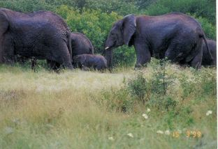 6n elephant herd with calves