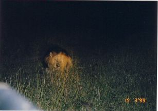 7a lion at night