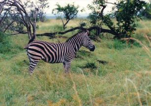 7b Burchell's zebra