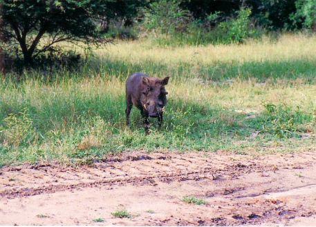 7d warthog