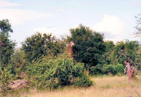 7e giraffe