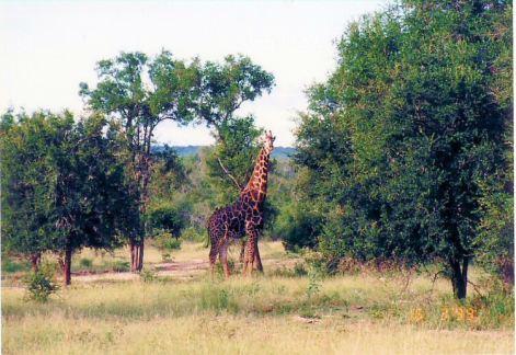 7f giraffe