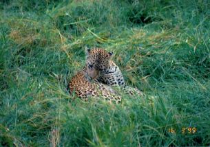 8a mother leopard