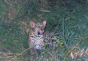 8b leopard cub