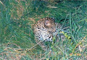 8c leopard cub