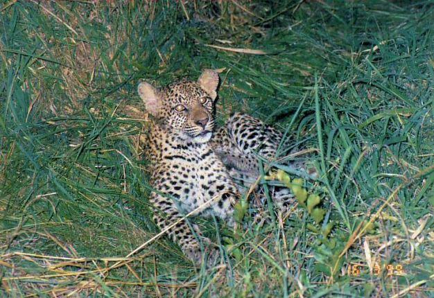 8d leopard cub