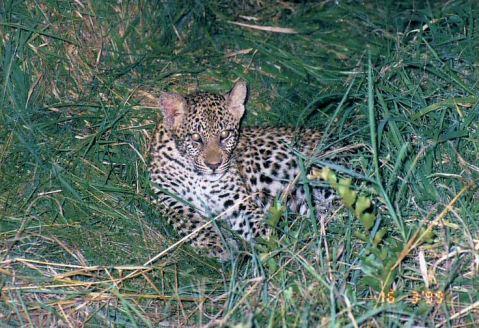 8e leopard cub