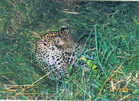 8f leopard cub