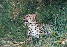 8g leopard cub