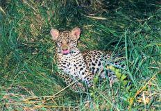 8h leopard cub