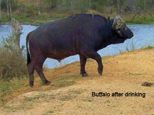 a6 Buffalo after drinking