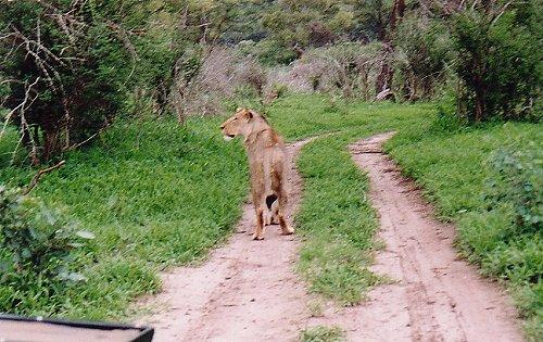 c-lion 99