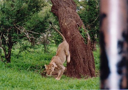 c-lion 999999999