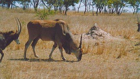 c1 eland & sable